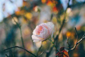 Min fredagsbukett i november; rosor från Frankrike