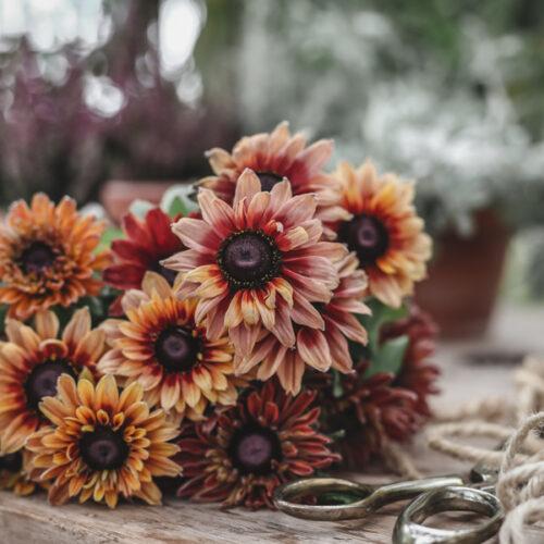 Sommarrudbeckia, höstens snittblomma