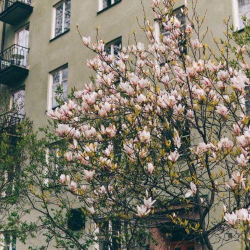 Om magnoliaträdet på Kungsholmen och om att få barn med 6 år emellan