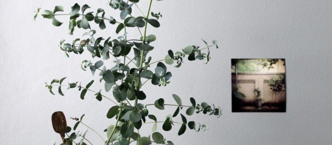 tantjohanna_veckanskrukvaxt_eukalyptus