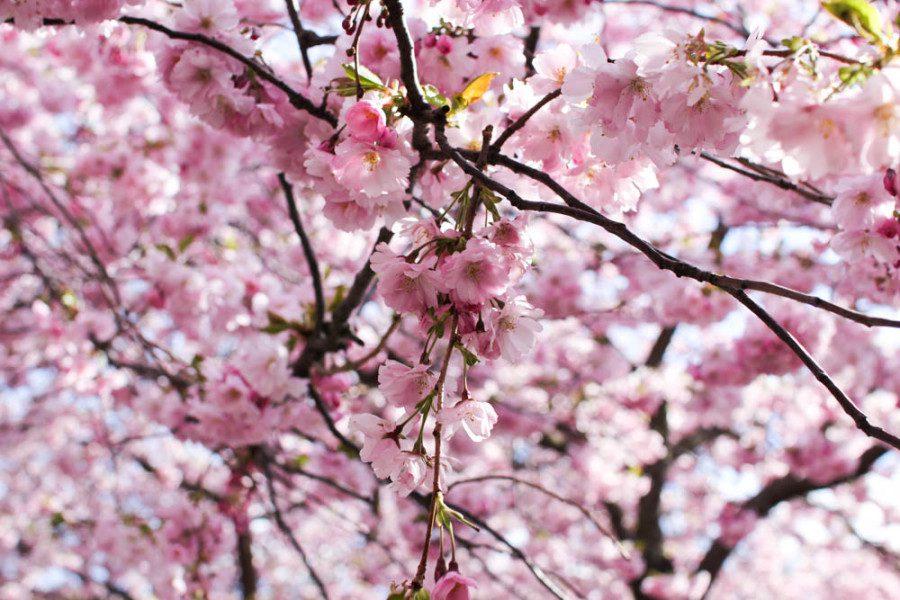 Om de rosa körsbärsträden i Kungsträdgården