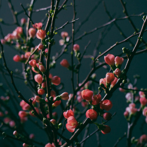 Rosenkvitten och blomsterpodden