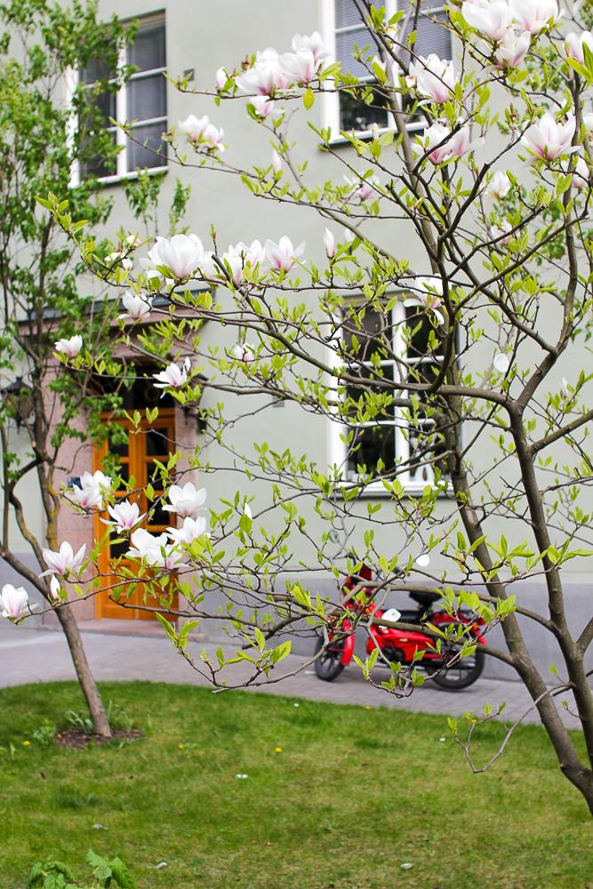 magnoliaträd