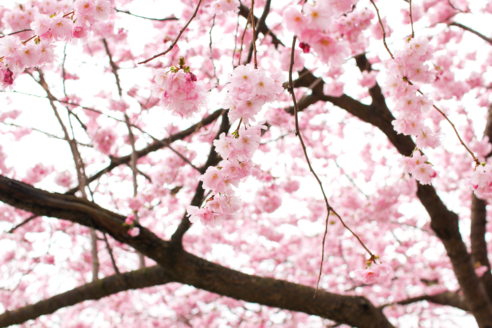 cherry blossom-7
