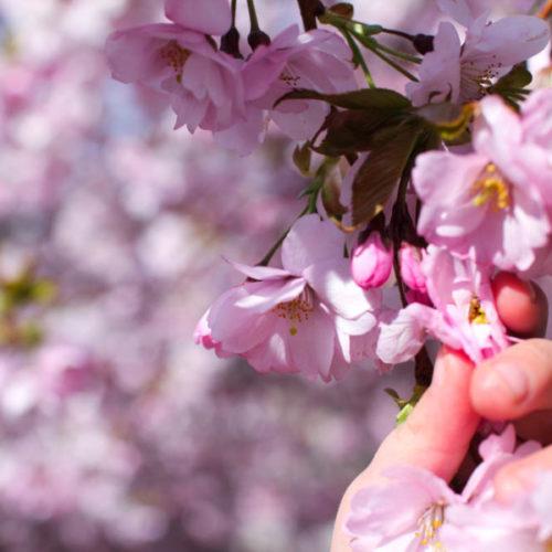 Min fredagsbukett; de blommande körsbärsträden