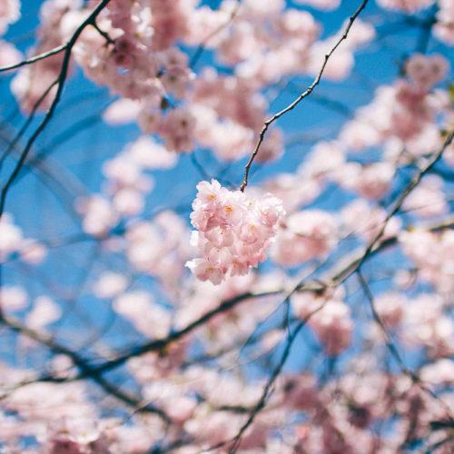 De blommande körsbärsträden i Kungsträdgården