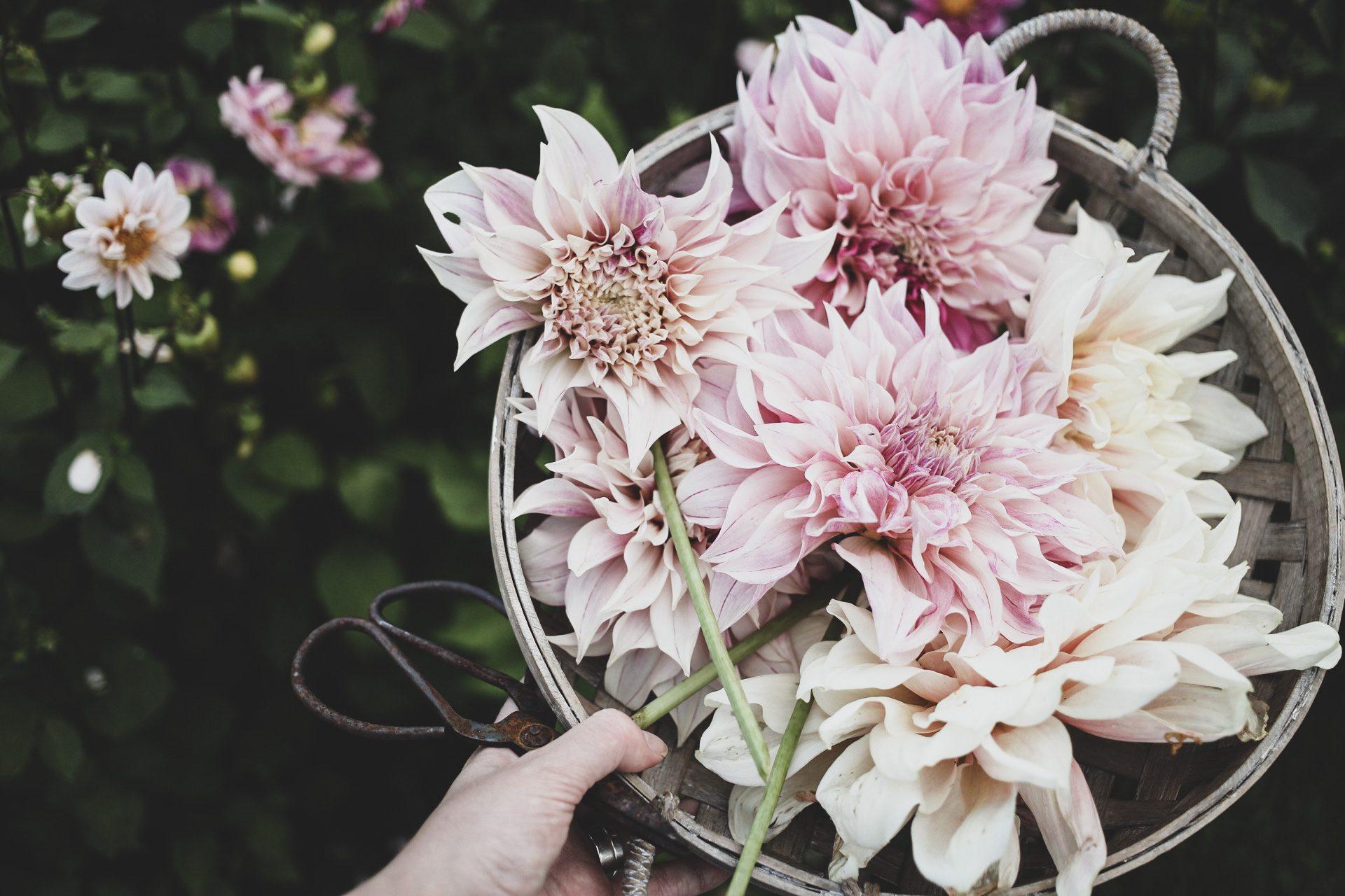 Lovelylife blommor dahlia
