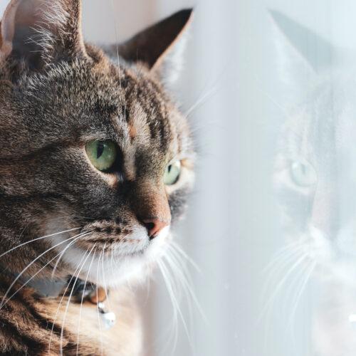 Adoption av katt via Djurskyddet Västerbotten
