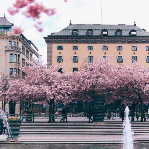 Om de fluffiga, rosa träden