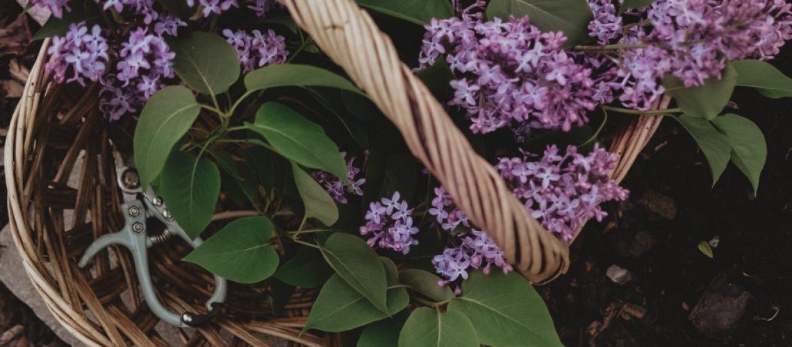 lilacs02