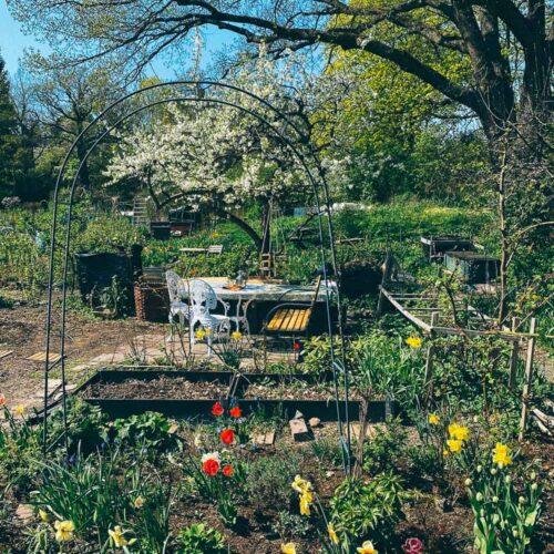 Våren på kolonilotten med blommande plommonträd och tulpaner