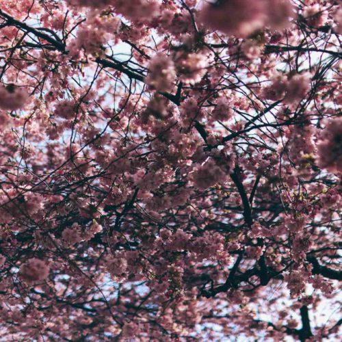 Och de rosa träden blommar som om inget hänt