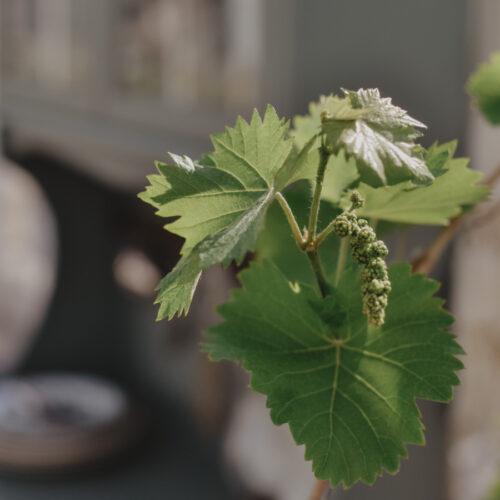 Att odla vindruva i kruka