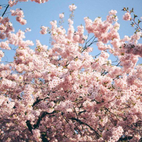 Om de rosa träden i Kungsträdgården