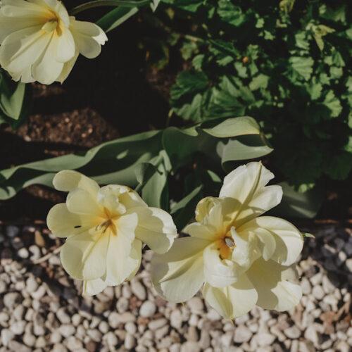 Årets första trädgårdstulpaner + dagens att-göra